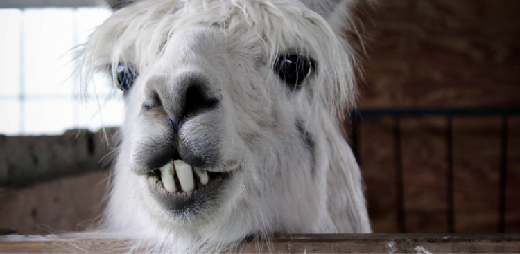 Closeup of a llama with large teeth from an underbite