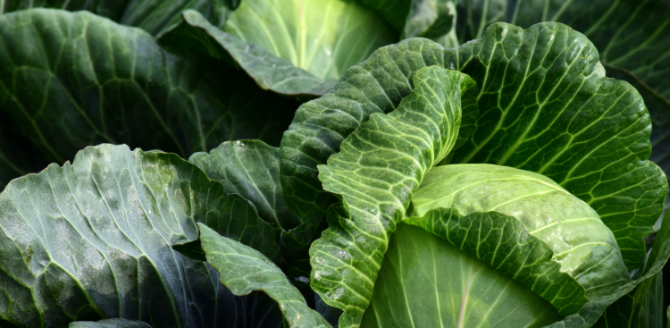 Lush, green folds of cabbage, like piles of cash.