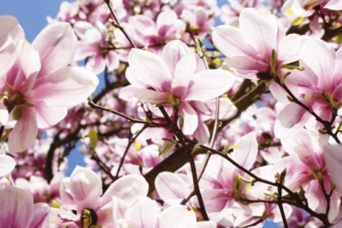 Magnolia PNG