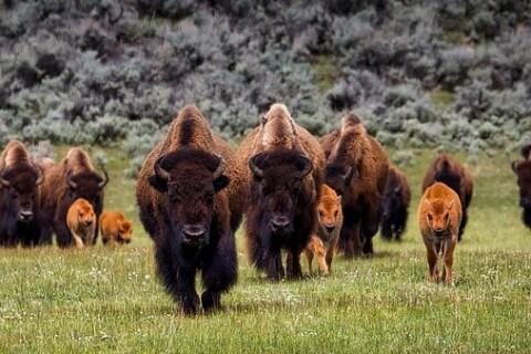 bison herd (2)